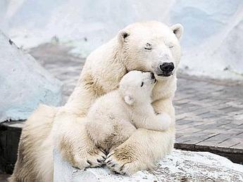 Coccole di mamma, le dolci effusioni dell'orsa polare al suo cucciolo