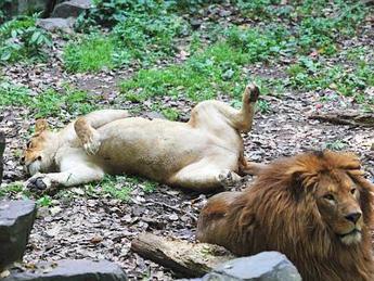 Relax a pancia all 39 aria per leoni panda e canguri l 39 ora della siesta - Un letto di leoni ...