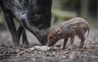E' 'pig mania': zoo inglese in festa per la nascita di Jake, il maiale più raro al mondo/Foto
