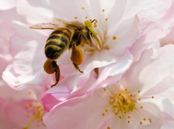 Vespe, api e calabroni: con la bella stagione più rischi punture