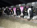 Farmaci illegali per aumentare la produzione di latte, blitz dei Nas in tutta Italia