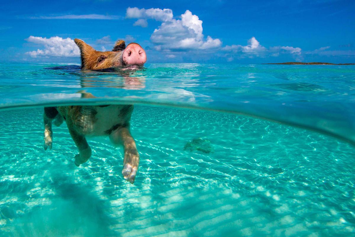Bahamas La Gita Al Mare Dei Porcellini