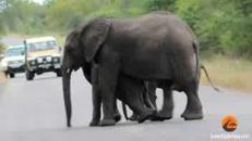 L'elefantino sviene, in suo aiuto arriva il 'branco'