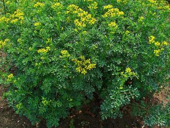 Da una pianta mediterranea speranze contro il cancro al cervello