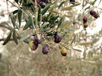 Cala la produzione di olio d'oliva in Lombardia (-30%)