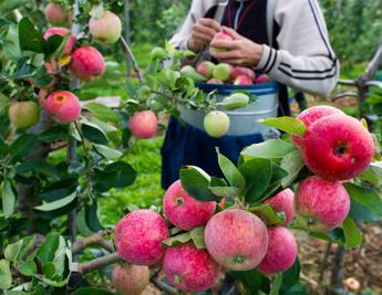 La mela avvelenata, allarme di Greenpeace: Cocktail di pesticidi in acqua e terra