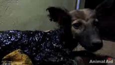 Il cucciolo intrappolato nel catrame