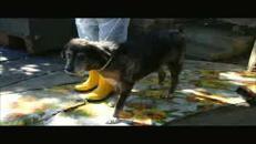 'Accumulatrice seriale' di animali, viveva con 51 cani e topi in casa