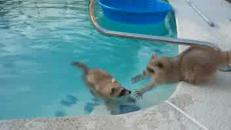 Il procione fa un bagno in piscina