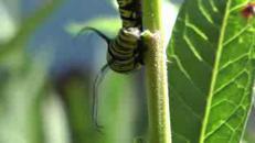 Il ciclo di vita della 'Farfalla Monarca'