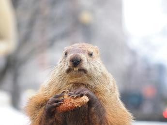 Ok alla caccia alle marmotte in Alto Adige, è polemica con gli animalisti