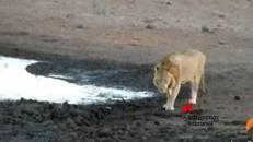 L'impala 'finito' dall'ippopotamo