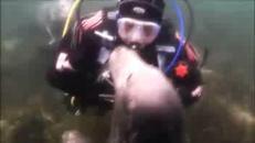 La foca gioca col sub