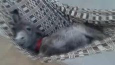 Lèo, l'asino domestico