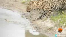 Il piccolo uccellino si libera dagli artigli del Leopardo