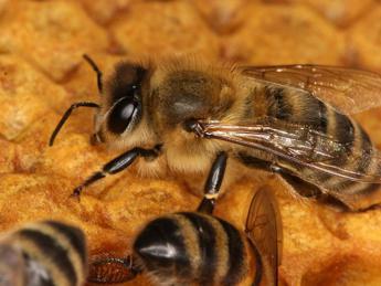 Biodiversità a rischio, api vittime dei pesticidi