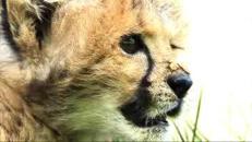 Il cane e il ghepardo inseparabili