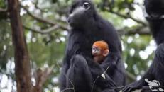Una scimmietta arancione allo zoo di Sidney