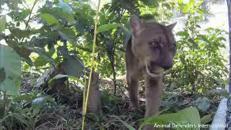 Primi passi nella foresta di Musafa il puma