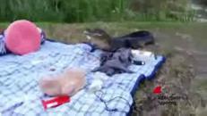 L'alligatore rubaunpanino al picnic