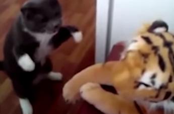 Dieta Settimanale Pugile : Cat sius clay il gatto pugile idolo del web video