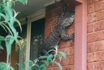 C'è una lucertola di un metro e mezzo in cortile, l'iguana gigante è virale