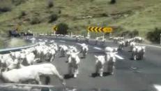 Nuova Zelanda, l'invasione delle pecore