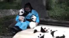 Il lavoro più dolce che si possa sognare: abbracciare i panda /Guarda