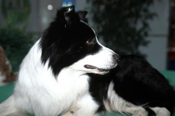 Arriva il test del QI per i cani, aiuterà a studiare la demenza nell'uomo