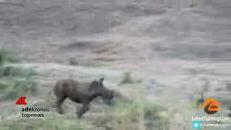 Il piccolo rinoceronte insegue le oche