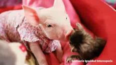 Il maialino e il gatto 'amici per la pelle'