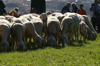 Pecore 'tosaerba' in parchi e ville, l'idea M5S per Roma