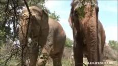 L'elefantessa Rhea ritrova le sorelle