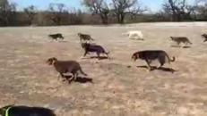 I cani australiani diventano star