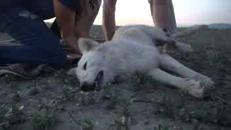 Abbandonato nel deserto californiano, salvataggio per il cane pastore