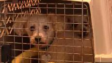 I cuccioli liberati dall'allevamento clandestino ritrovano la libertà