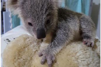 Louise, la piccola koala abbandonata dalla madre durante la tempesta /Video