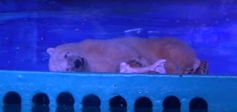 L'orso triste che commuove il mondo, chiuso in gabbia nel centro commerciale /Video