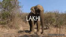 Lakhi, elefantessa cieca e ferita ritrova la libertà