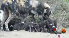 Primi passi per i cuccioli di licaone nel Kruger National Park