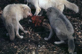 Da abbattimento lupo un enorme problema ambientale, il parere dell'esperto