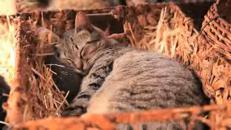 Alle Hawaii il 'paradiso' dei gatti