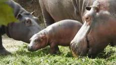 Il baby ippopotamo nato da mamma e papà ultraquarantenni