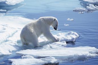 Orso polare a rischio, la sua casa sempre più piccola