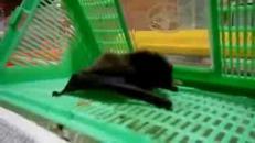 Dopo il riposo invernale, torna in forma il pipistrello 'ammazza' zanzare