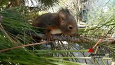 Mamma scoiattolo salva il suo piccolo da auto in corsa