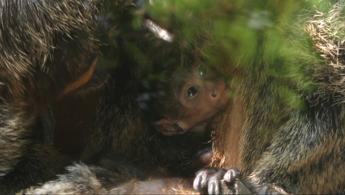 Lieto evento al Parco Natura Viva di Bussolengo, nato cucciolo di scimmia saki