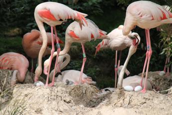 Prima schiusa fenicotteri rosa al Parco Natura Viva, anno record