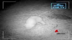 Primi passi per il cucciolo d'orso polare