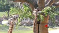 Allarme giraffe: numero dimezzato in 30 anni